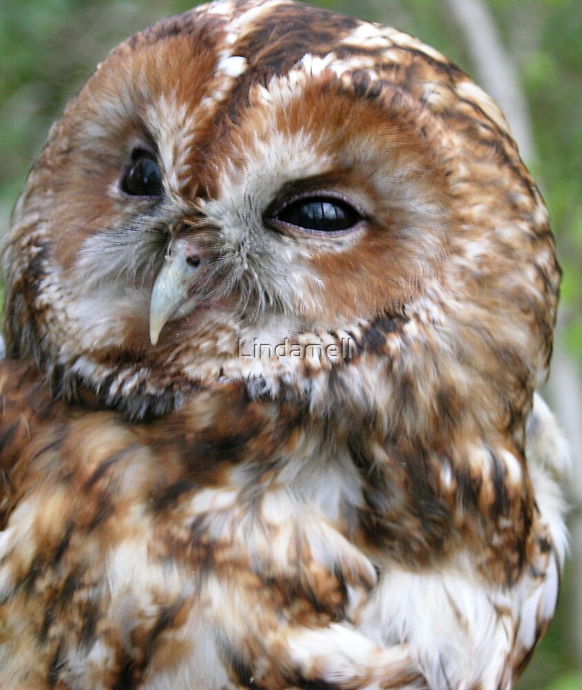 Adult Tawny Owl by Lindamell