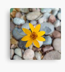 Yellow Flower in the Pebbles  Canvas Print