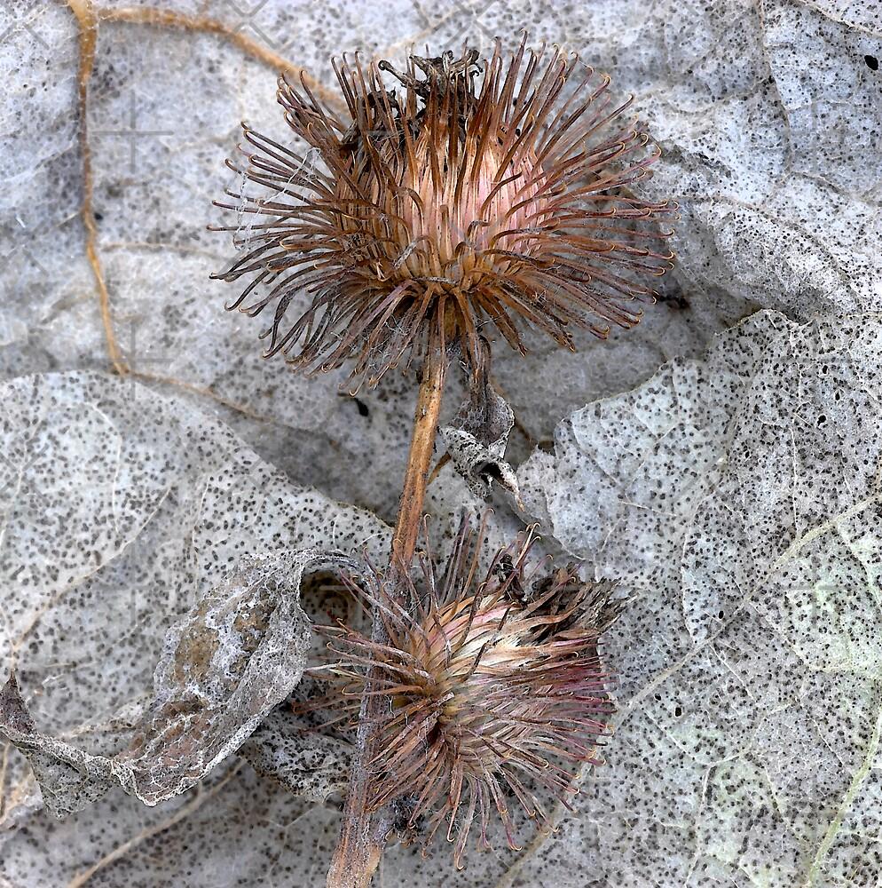 Wild Burdock Seedhead by JulieP