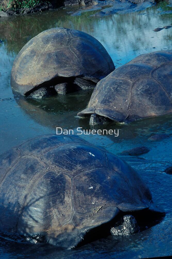 Galapagos Tortoises in Pond by Dan Sweeney
