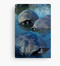Galapagos Tortoises in Pond Metal Print