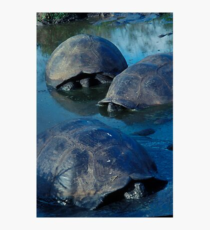 Galapagos Tortoises in Pond Photographic Print