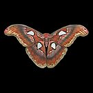 Atlas Moth Black by Sami Bayly