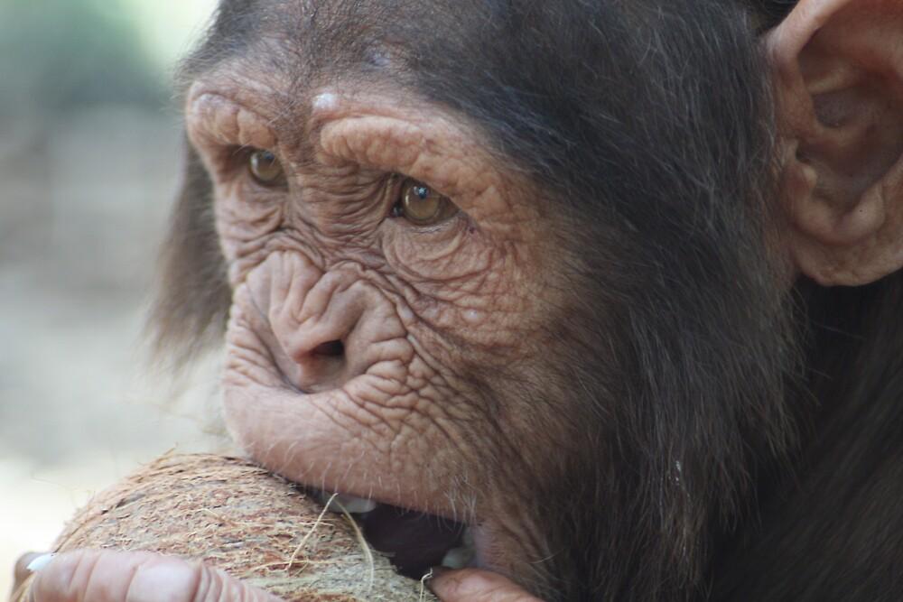 Coconut Chimp by sjmphotos