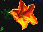 The Pumpkin Blossom by Nathan Henstra
