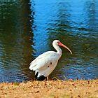 White Ibis by Cynthia48