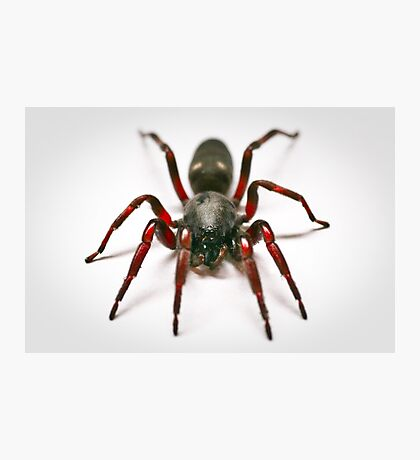 White Tail Spider Photographic Print