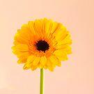 Yellow gerbera flower by David Rankin