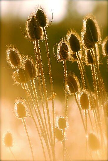 Sunlit Teasel by Pamela Hubbard