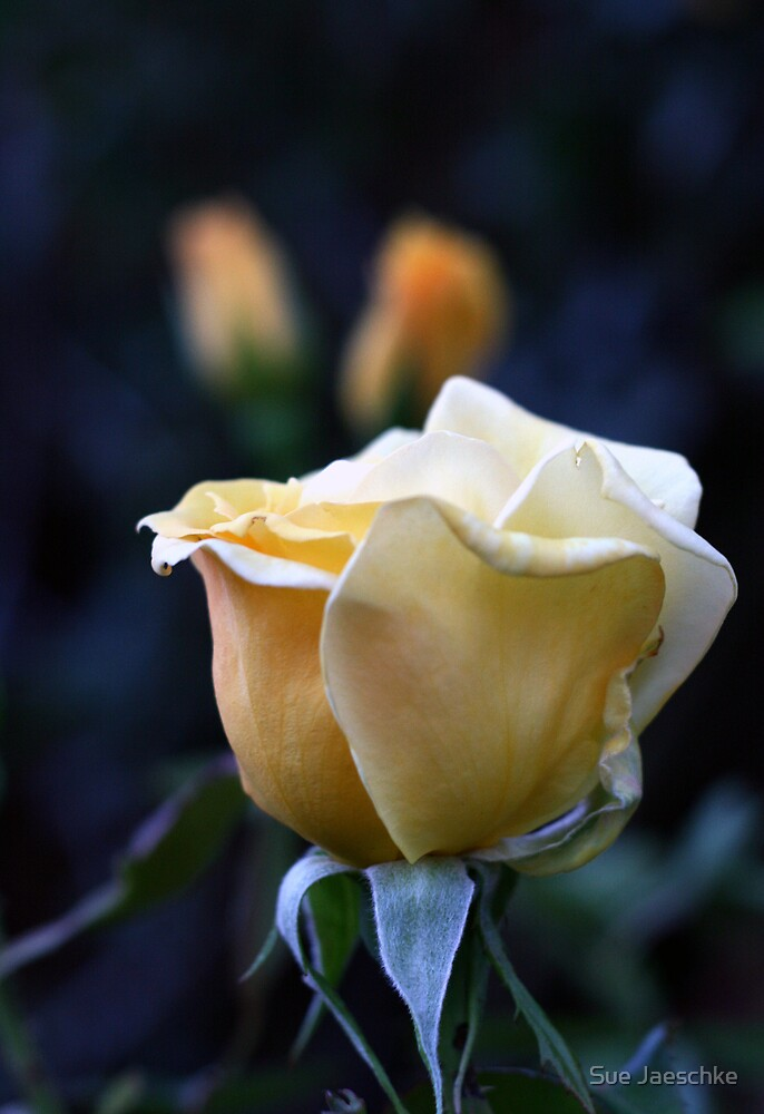 Yellow Rose by Sue Jaeschke