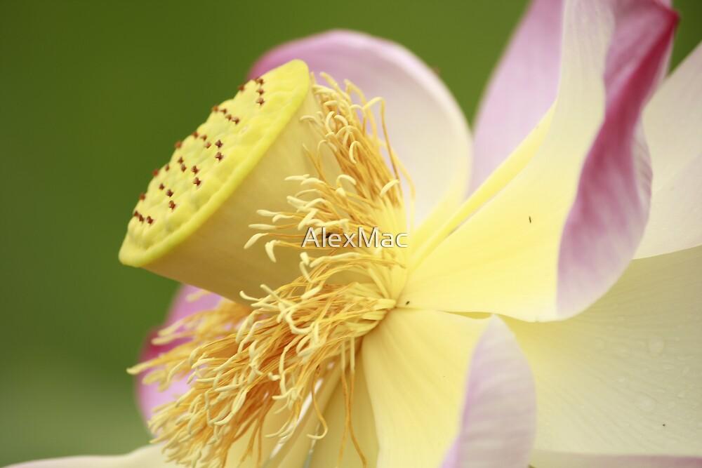 Sunbathing Lotus by AlexMac