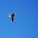 White Tailed Kite by flyfish70