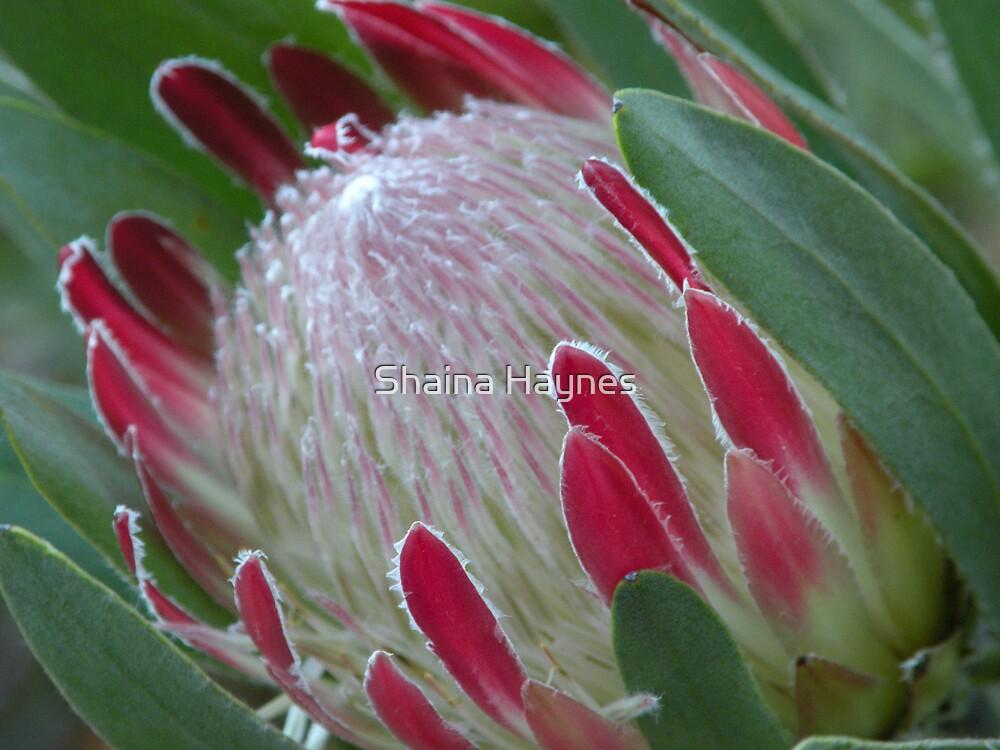Protea Bud by Shaina Haynes