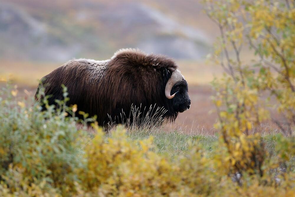 Alaskan Muskoxen II by skphotos