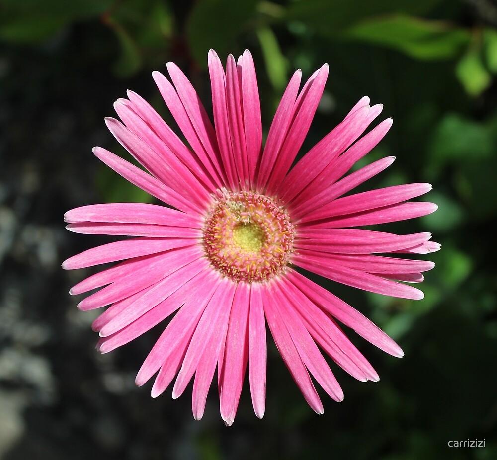 Pink Flower by carrizizi