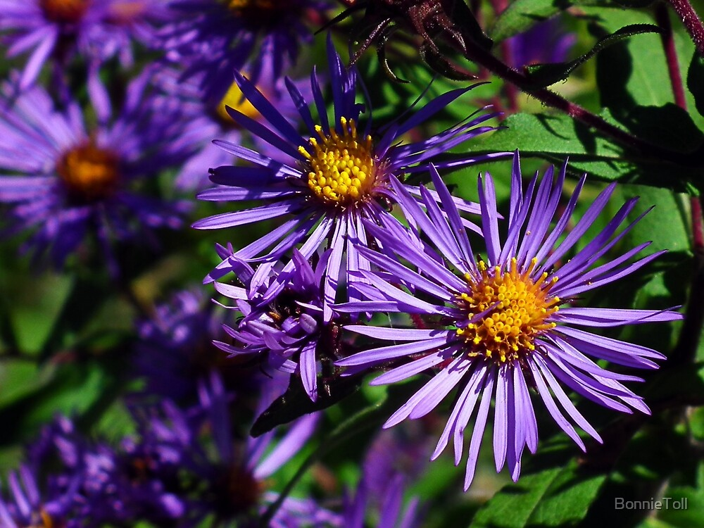 New England Aster by BonnieToll