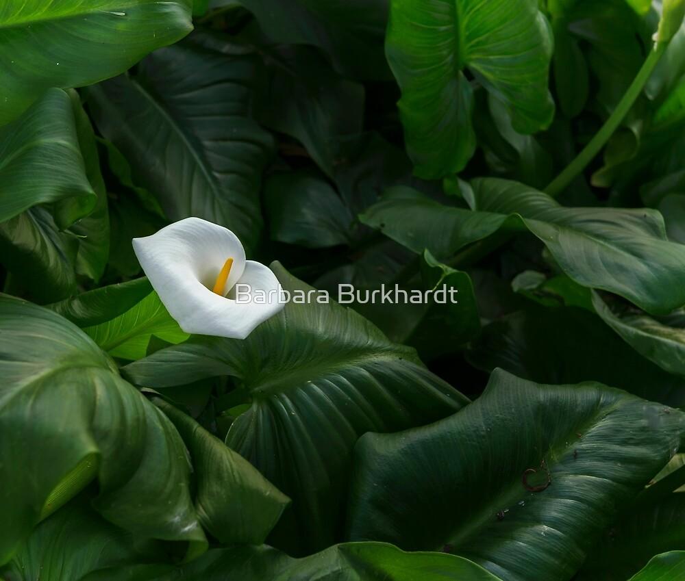 Arum Lily by Barbara Burkhardt