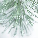Icy Winter Pine Needles by Edward Fielding
