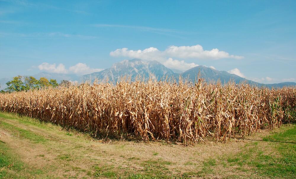 Corn Field in Autumn  by jojobob