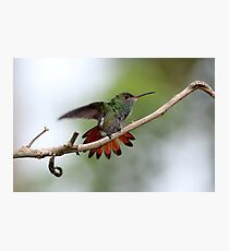 Rufous-tailed Hummingbird Photographic Print