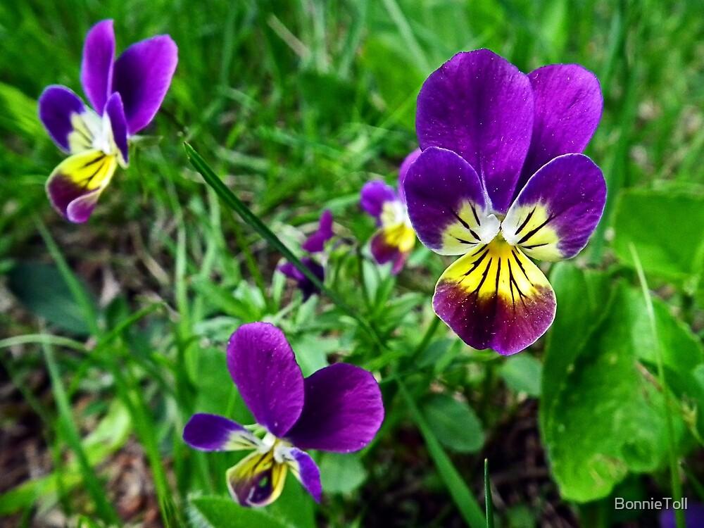 Common Blue Violet (Viola papilionacea) by BonnieToll