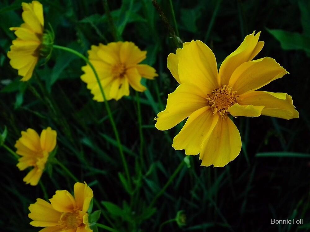 Tetraneuris herbacea by BonnieToll