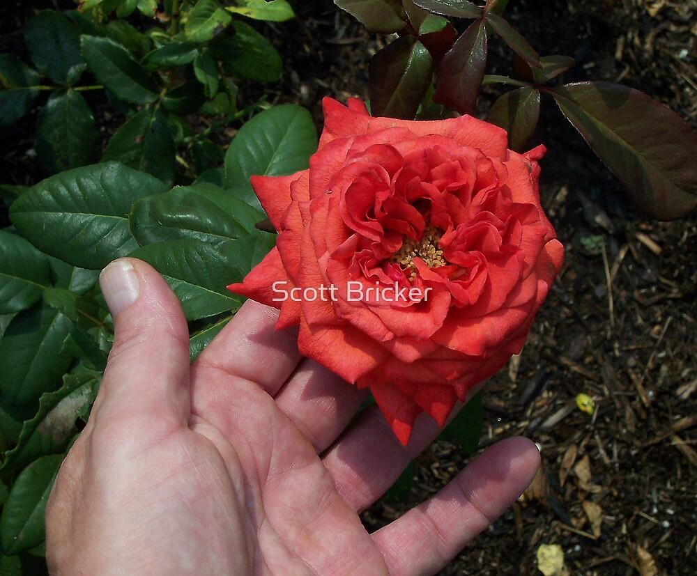 'Unfolding Rose' by Scott Bricker