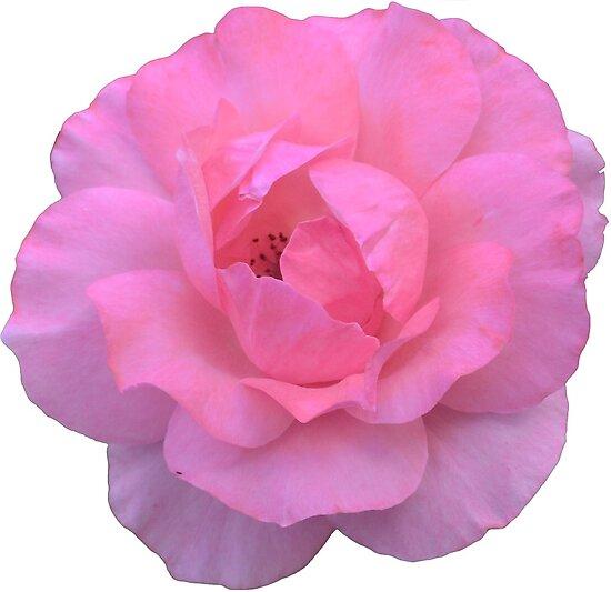 Pink Rose by adigiuseppe