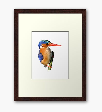 Malachite Kingfisher on reed 3 Framed Print