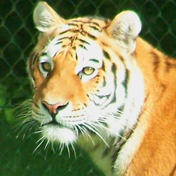 Tigers Head by sjmphotos