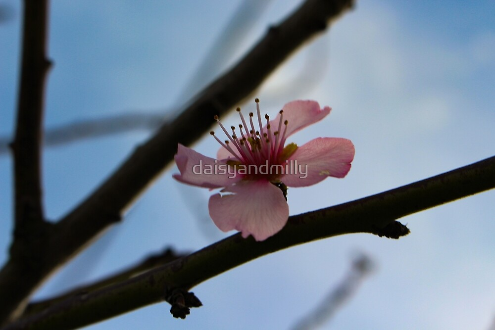 Blossom by daisyandmilly