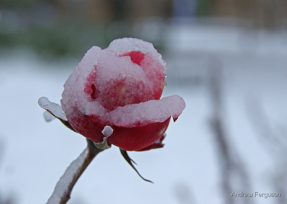 Icy rose. by Andrew Ferguson