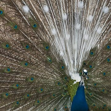 Peacocks green-white feathers by AleFairyland