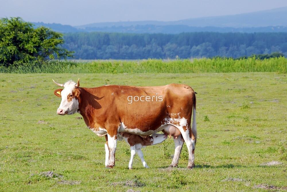 Cow feeding with milk little calf by goceris