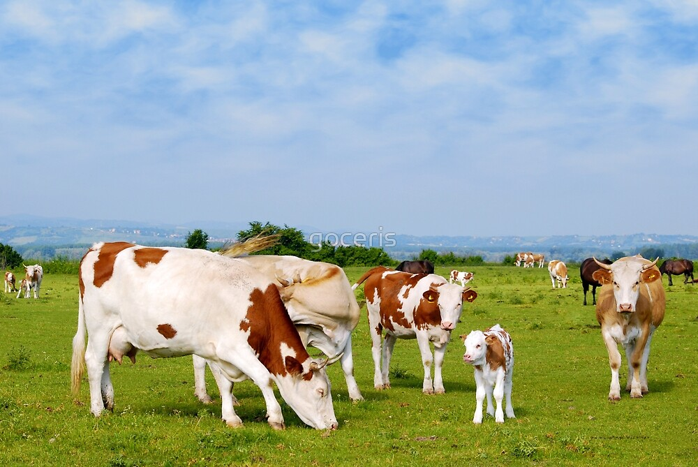 Cows and calf on pasture by goceris