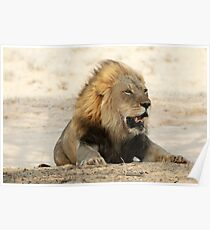Large adult male lion resting Poster
