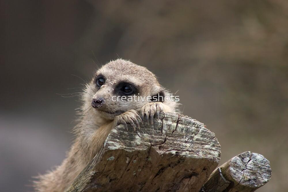 Meerkat by creativeshots