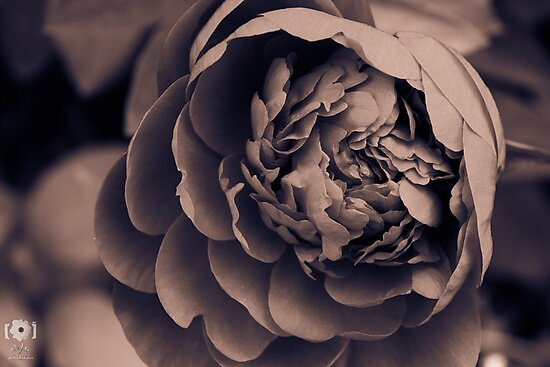 Shades of Sepia by LittleRedLens