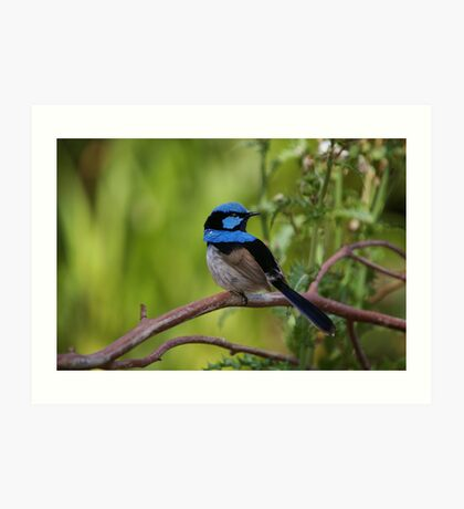 Superb Fairy Wren - Blue Cape Art Print