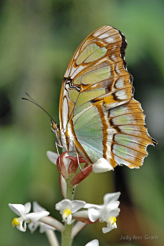 Portrait of a Butterfly  by Judy Grant