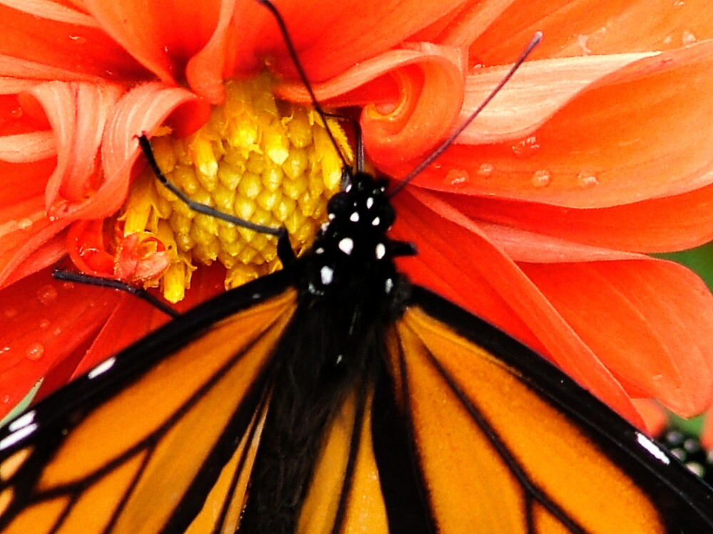 Monarch Butterfly 2 by AlisonOneL