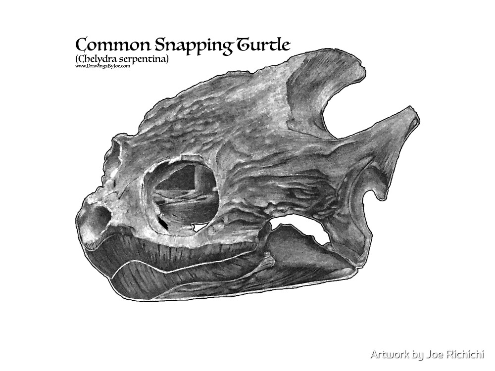 Common Snapping Turtle Skull by Artworkbyjoe