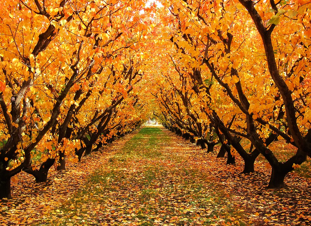 Orchard, NZ by AlisonOneL