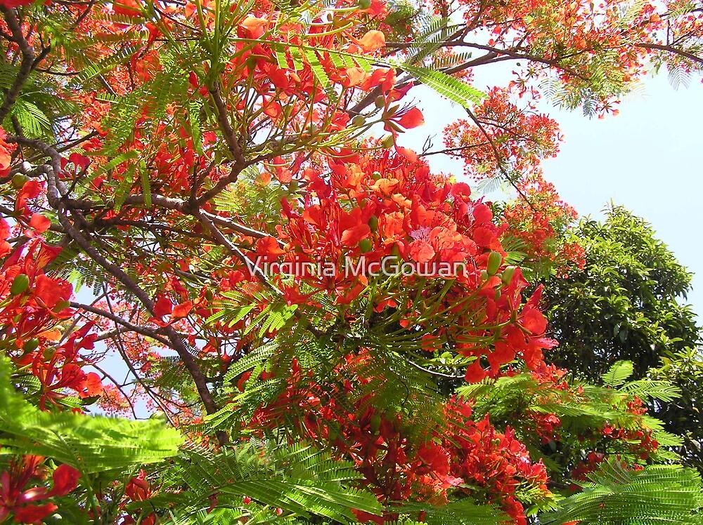 Poinciana Tree #1 by Virginia McGowan