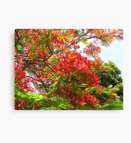 Poinciana Tree #1 Canvas Print