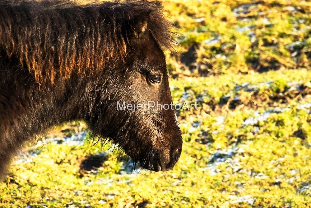 Profile head shot of wild Exmoor Pony by MejerPhotoArt