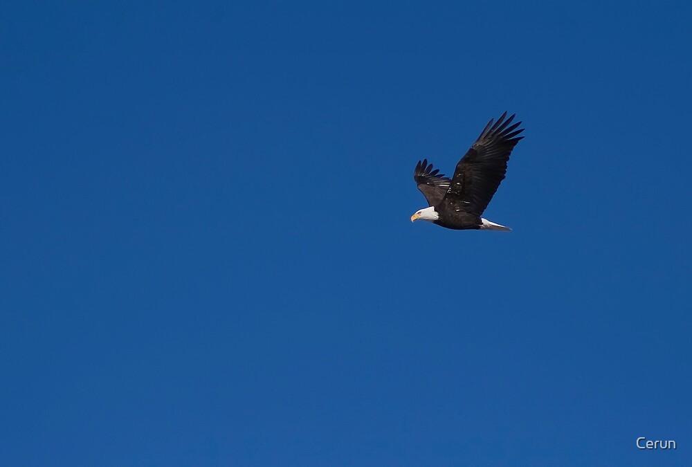 Bald Eagle by Cerun