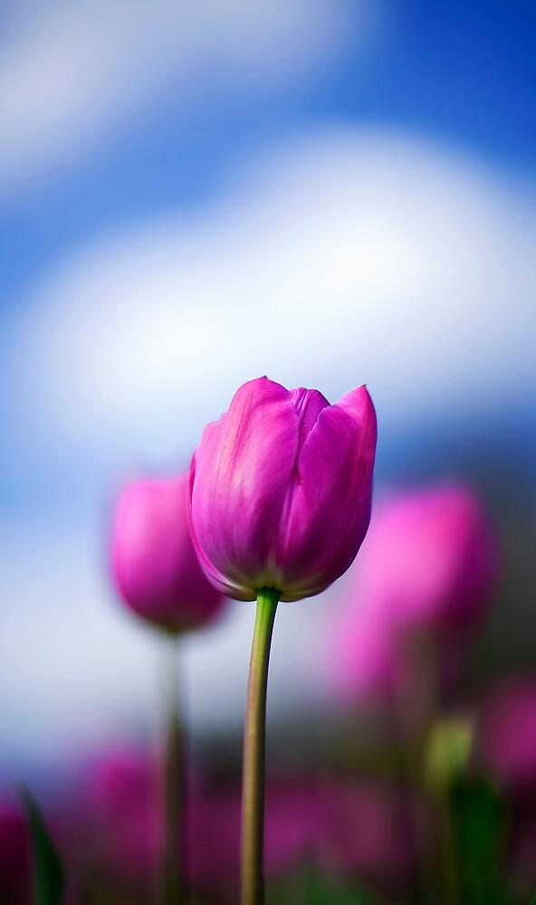 Tulip by Michael Bates