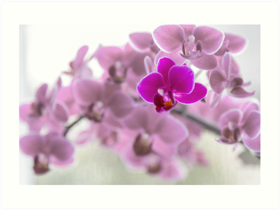 Single Purple Orchid Flower  by Chris Warham