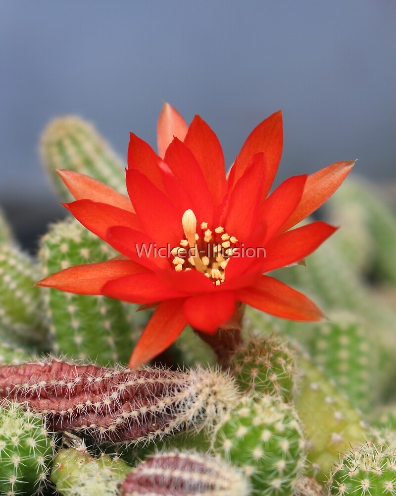 Red Cactus Flower by Wicked-Illusion